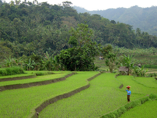 Balinese lady walking across a rice-field