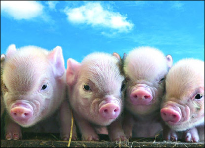 pig-nosed pigs