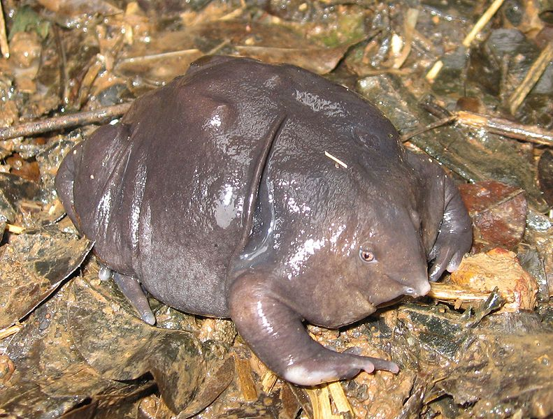 Also known as the pignose frog