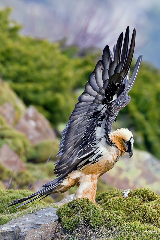 A rare photo of a bearded vulture on land