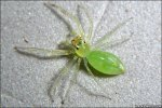 Transparent green spider