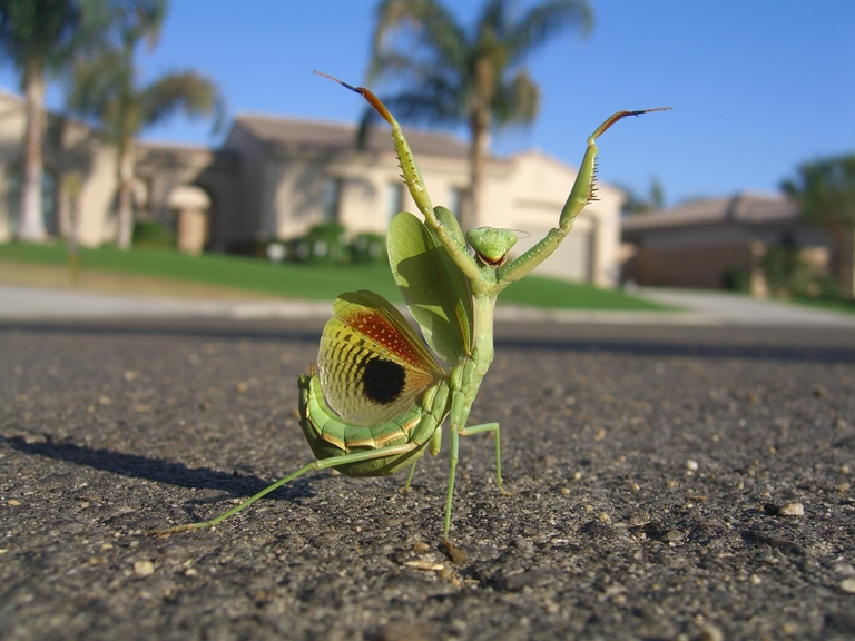 Why did the mantis cross the road?