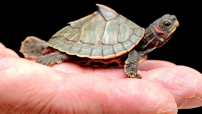 Indian Roofed Turtle Think Twice