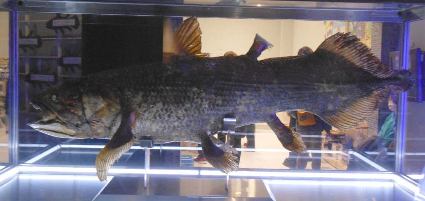 Coelacanth 1