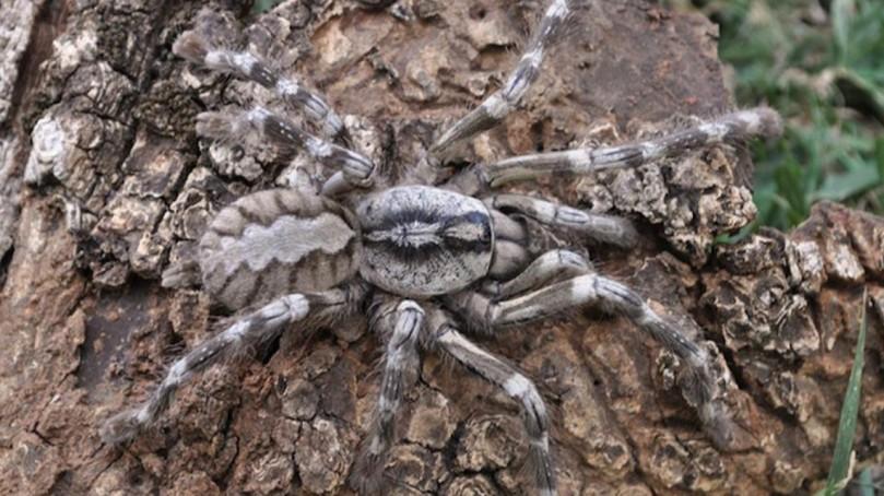Tarantula, Sri Lanka (8 inches)