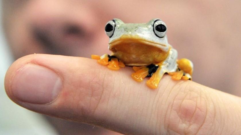 Reinvardts tree frog