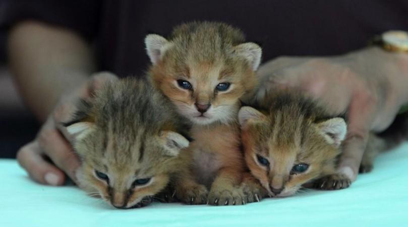 Baby lynx, India