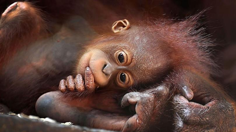 Baby Orang-utan, Singapore