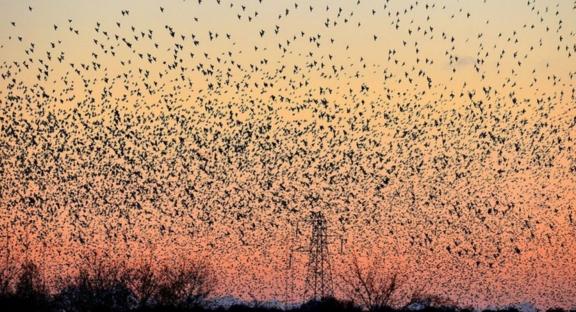 Murmuration at sunset