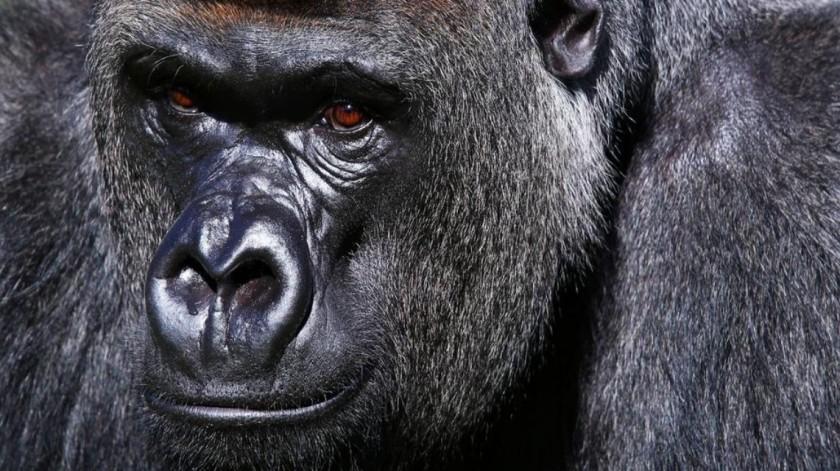 Gorilla, Cameroon