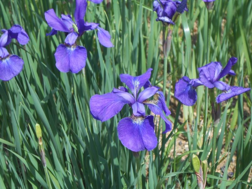 Irises b