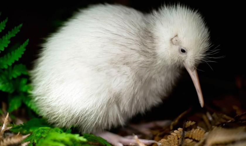 White kiwi