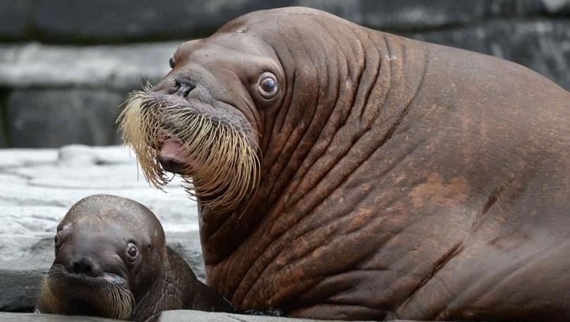 Baby Walrus, Hamburg