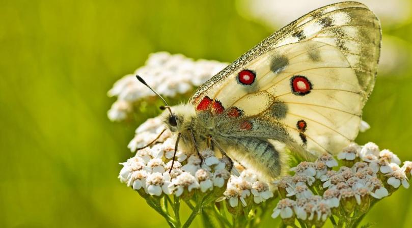 Swiss butterfly
