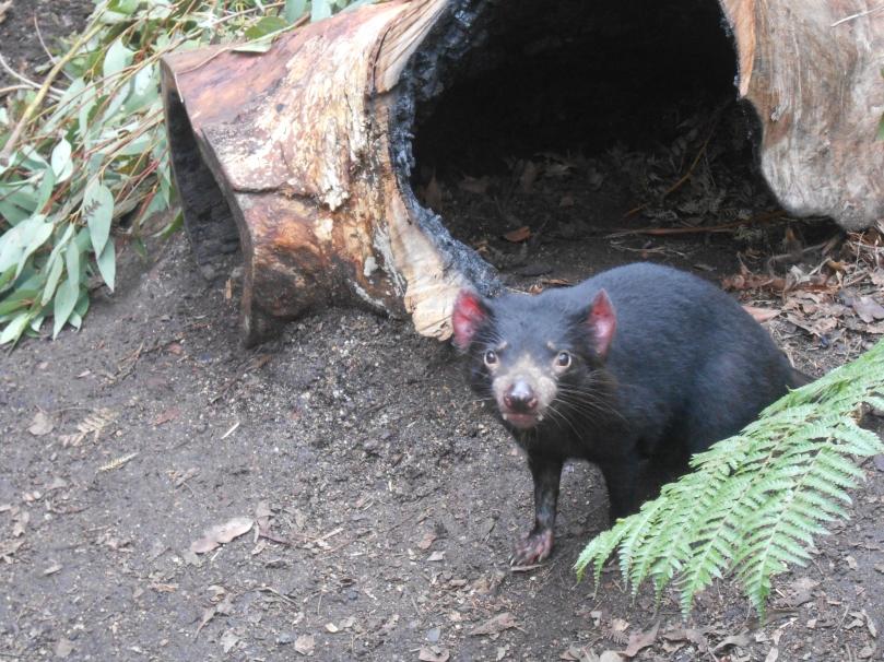 Tasmanian Devil